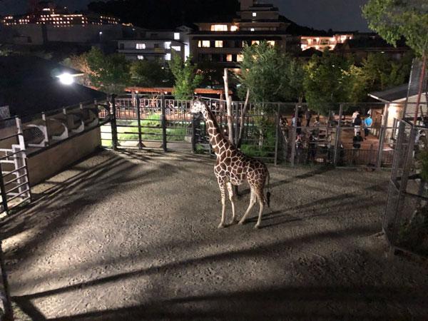 京都市動物園のキリン